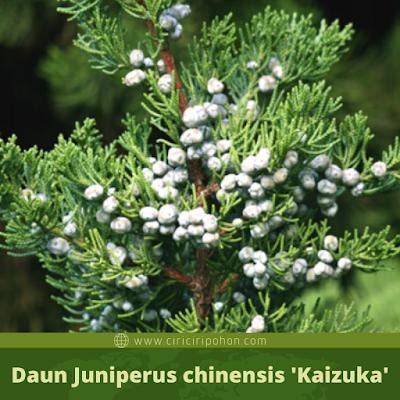 Daun Juniperus chinensis 'Kaizuka'