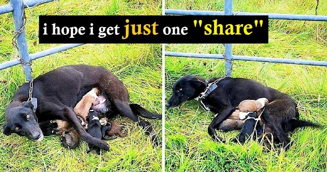 Help! Owners Chain Mama Dog To Gate & Dump Her, Even As She Fed Her Litter In The Rain