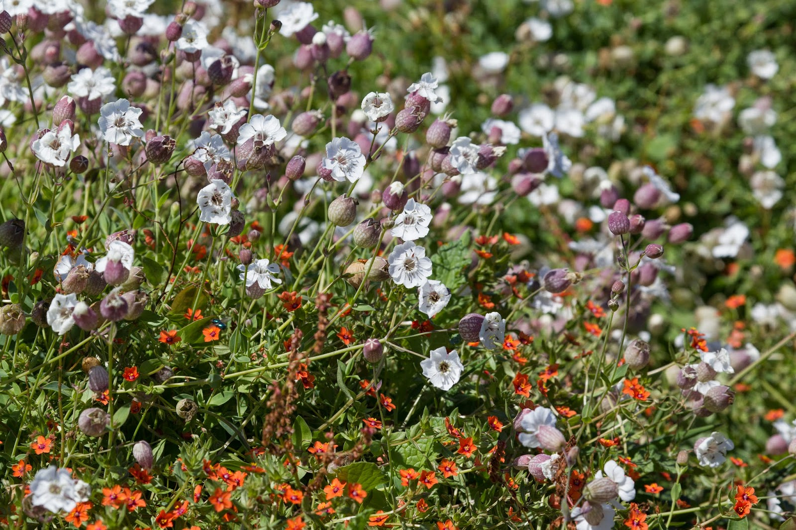 Sea Campion and Scarlet Pimpernel - Skomer - Simon Colenutt