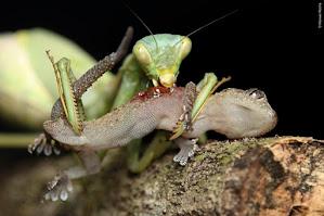 A close-up of a praying mantis eating a gecko.