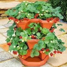 Panduan Menanam Strawberry Dalam Pot