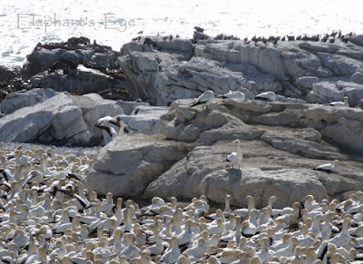 Cape gannets at Bird Island