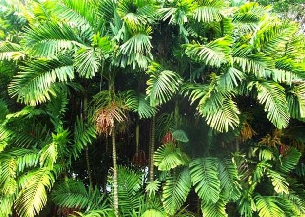 pinang irian ptychosperma macorthurii, tumbuhan pinang irian, tanaman pinang irian, jenis palem hias, jenis palem langka, jenis palem mahal, harga palem, palem merah, tanaman palem, pohon palem, jual palem