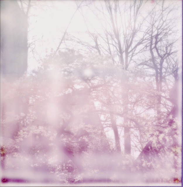 A polaroid of Dulwich cherry blossoms