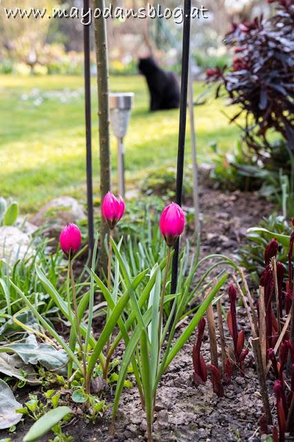 pinke Tulpen