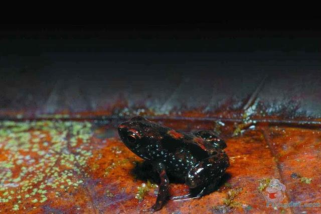 """Grundler akhirnya sadar bahwa asal suara """"krik-krik"""" tadi bukan berasal dari serangga jangkrik melainkan dari katak mini yang ternyata merupakan spesies baru dari 2 spesies yang hidup di daerah tersebut."""
