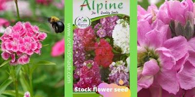 Tenweeks Stock Flower Seed