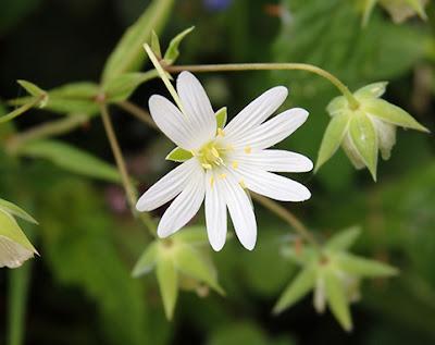 Flor blanca de Estrellada (Stellaria holostea)