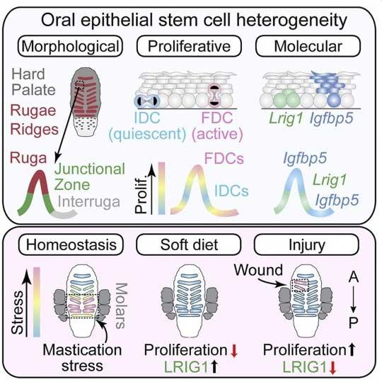 دور الجين Lrig1 في الخلايا الجذعية
