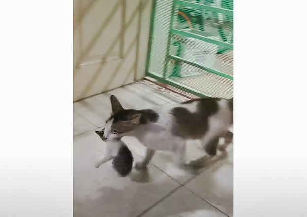 Community cat navigates through a tricky barrier with her kitten in her mouth to relocate to a new den