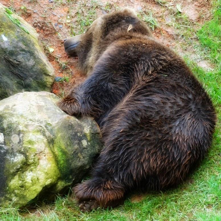 Urso pardo dormindo ao fim da passarela, no Beto Carrero World