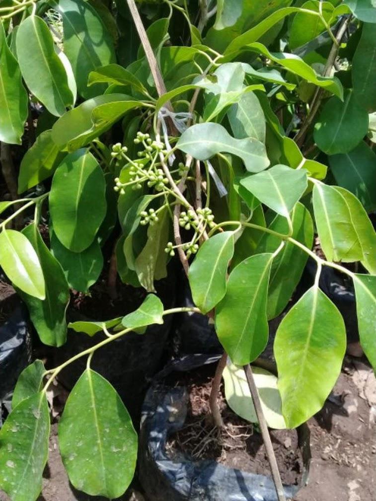 bibit juwet putih benih pohon tanaman buah okulasi bisa untuk tabulampot taman Bontang