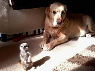 meerkat and dog