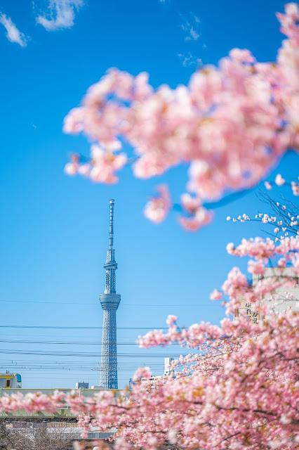 中川,桜,スカイツリー