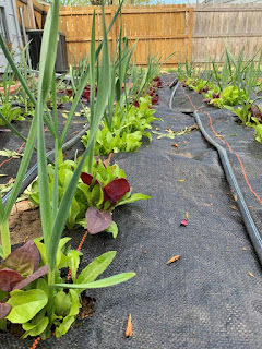 Green and purple lettuce and orach growing in tandem with the garlic