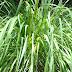 Sekilas Mengenal Karakteristik Tanaman Serai (Cymbopogon  nardus (L.) Rendle) Rerumputan Beragam Khasiat