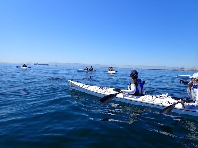 Kayak tour group surrounded by dolphins