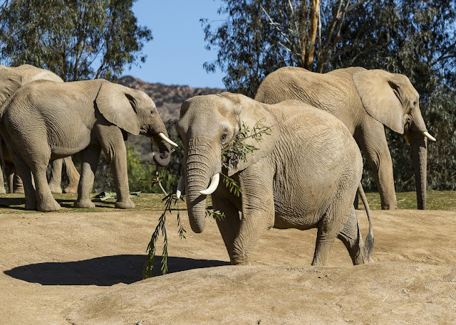 Researchers sequence complete genomes of extinct and living elephants