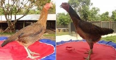 Indukan ayam bangkok asli Thailand warna variasi ~ Ayam