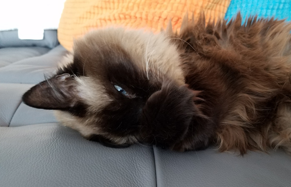 image of Matilda the Fuzzy Sealpoint Cat lying on the couch with her paws over her nose, peeking at me with one blue eye