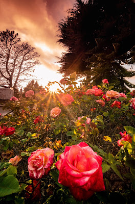 Sun shining down on a garden of pink roses