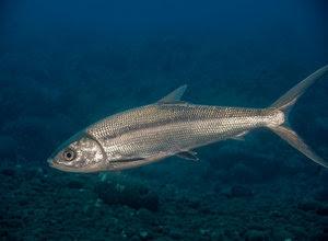 Unduh 95 Gambar Ikan Bandeng Kecil HD Terbaru