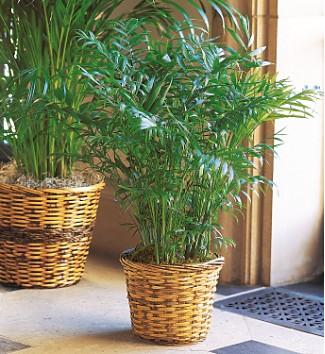 Indoor Plants Palm 2015