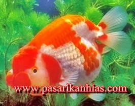Jual Ikan Mas Koki Ranchu Lionhead