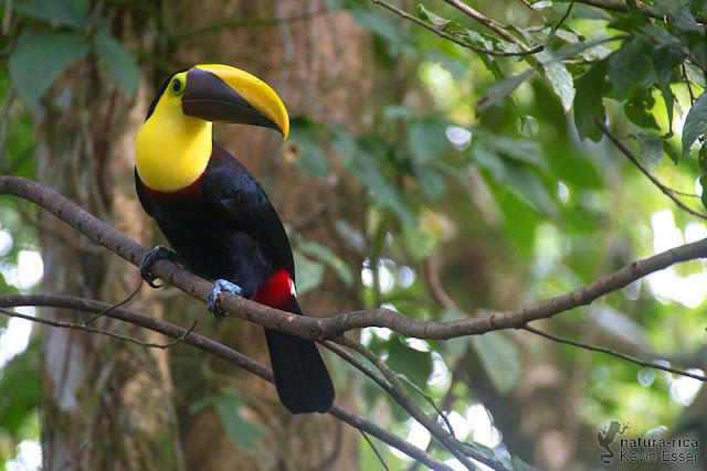 Yellow-throated Toucan - Ramphastos ambiguus