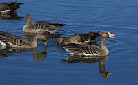Greater white-fronted geese, CA  by David Brossard, Feb. 4, 2012