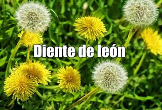 Diente de león  , propiedades, beneficios y usos