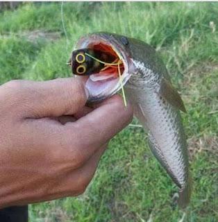 Kulon Progo- Gudangnya ikan gabus di Jogja   jump frog spinner propeller hard soft frog