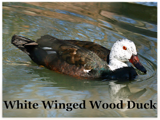 State Bird of Assam- White winged wood duck