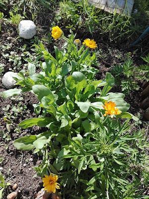 Maggio nell'orto biologico: calendula in fiore