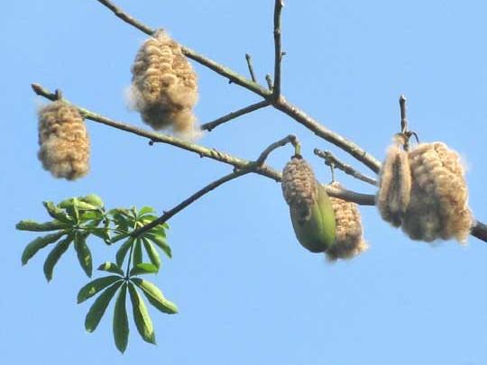 Frutti Kapok