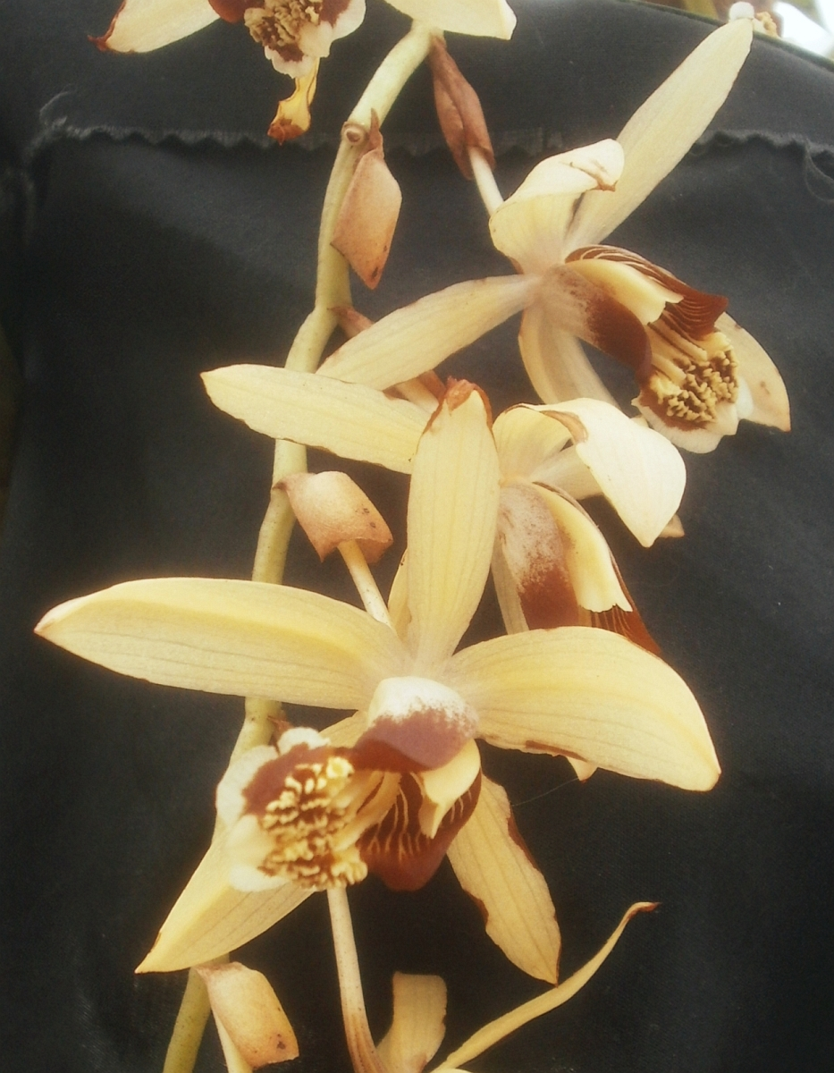Plants are the strangest people - Coelogyne Tomentosa Was Unusually Difficult To Photograph Largely Because It Was Backlit By A Greenhouse Wall Instead Of A Backdrop