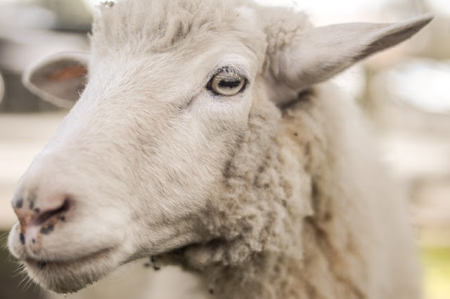 Icelandic Sheep Origin, Facts, Weight, Milk, Wool Quality
