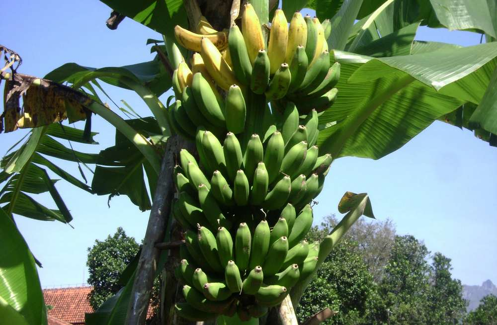 Pisang Raja Bulu (kbhsalamaninaction)