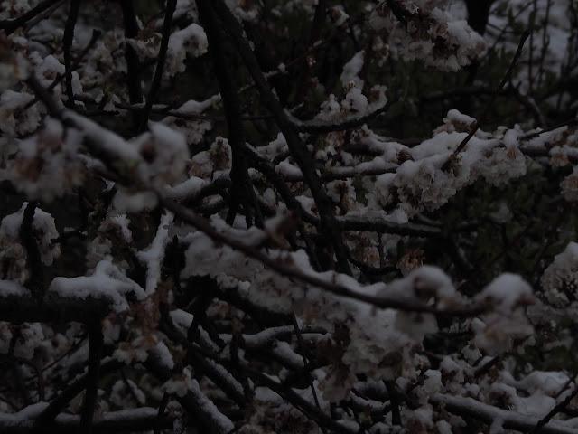 Flores de los cerezos de bubion con nieve, 22 de marzo 2020