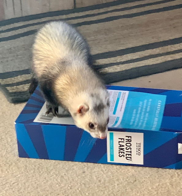 Woffle the Ferret