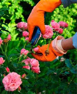 Hands in orange garden gloves pruning some pink roses.