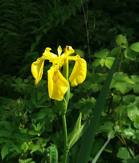 Yellow Iris with green background Leitrim