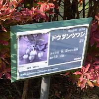 寝屋川公園のドウダンツツジ