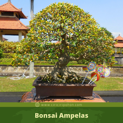Bonsai Ampelas