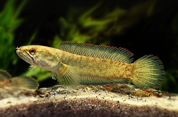 Channa harcourtbutleri - 50 Jenis Ikan Channa beserta Harganya