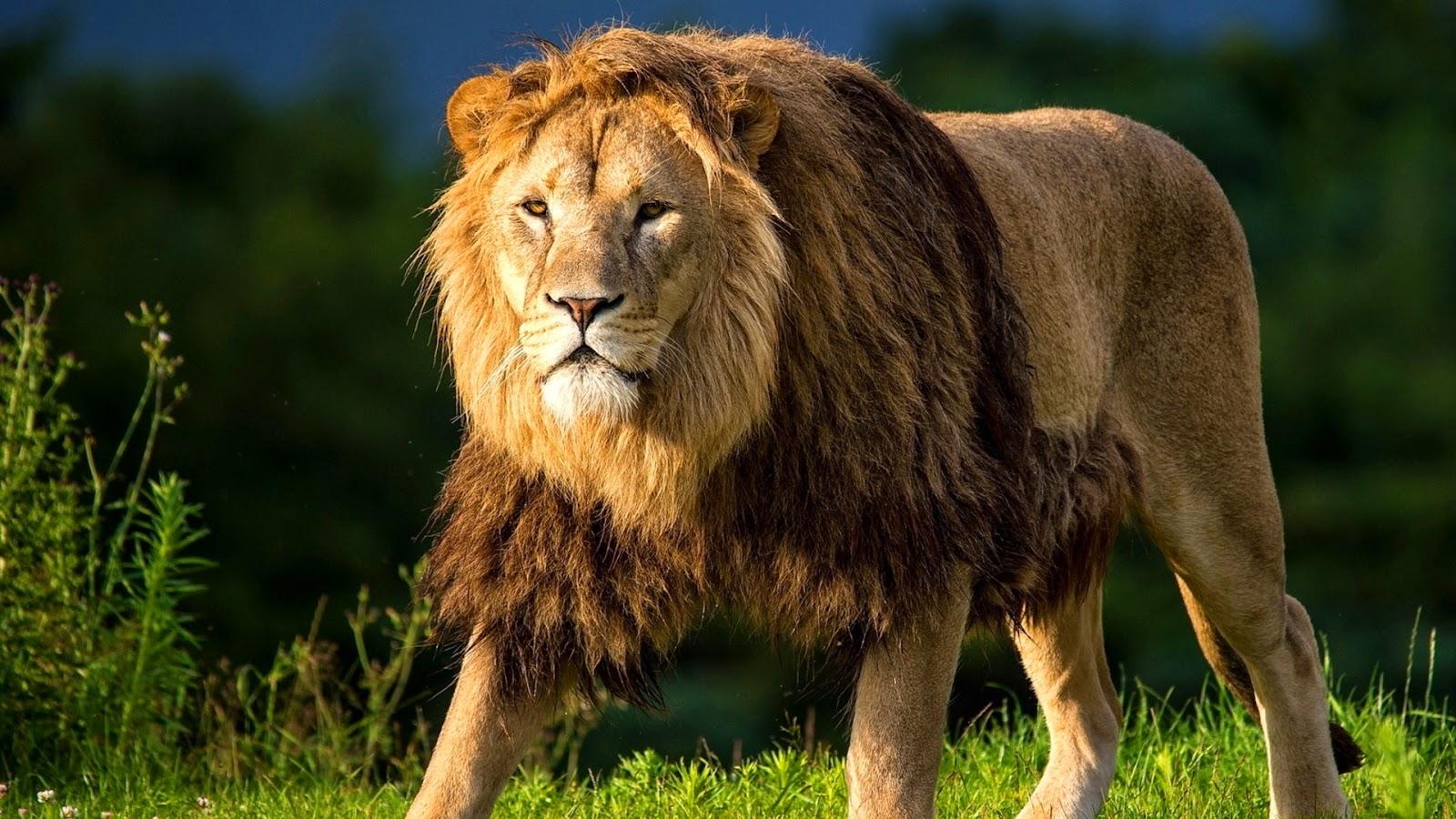 Male Lion   Full HD Desktop Wallpapers 1080p