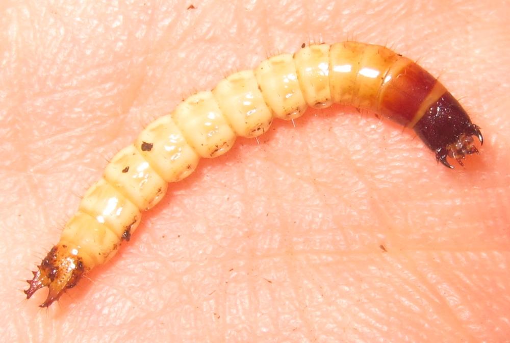 Pyrophorus%25235.JPG