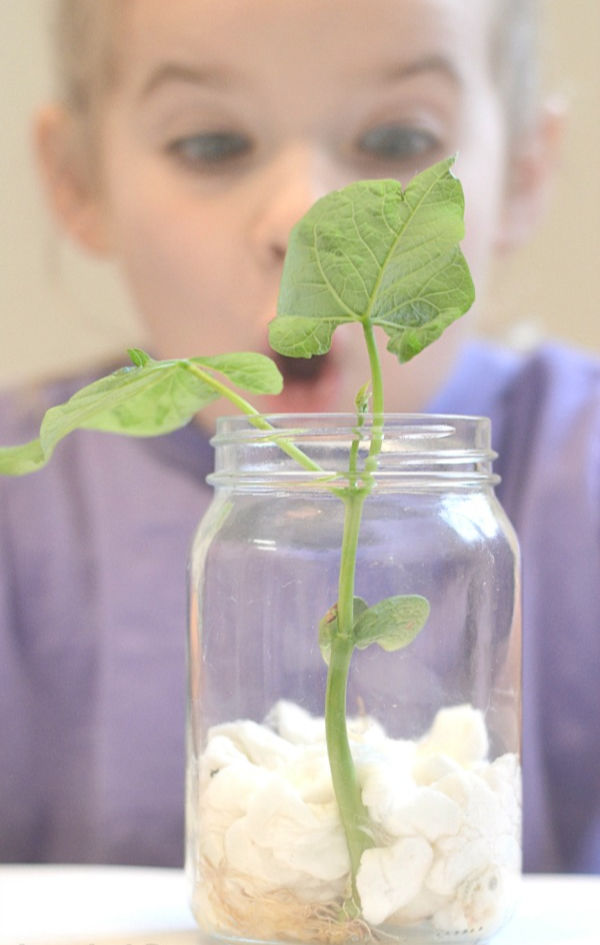 Fun & magical science experiments for kids including how to grow a bean in-a-jar! #scienceexperimentskids #growingajewledrose #activitiesforkids