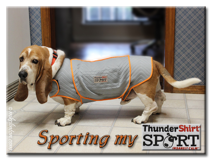 Bentley is looking sporty in his ThunderShirt Sport