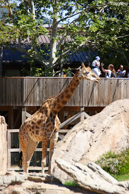 Giraffe nel Serengeti di Zoom